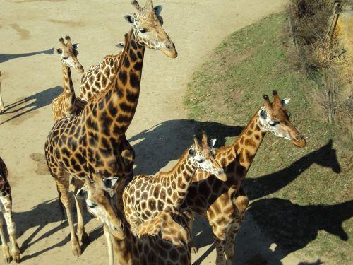 giraffes animals zoo