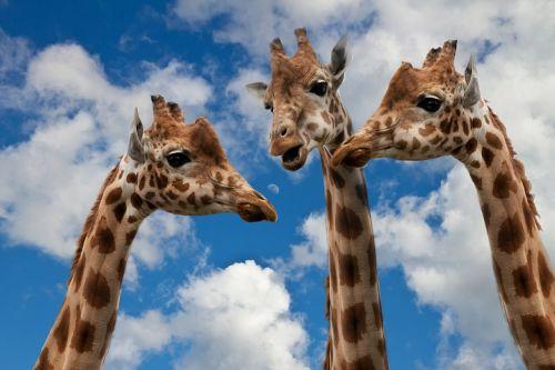giraffes entertainment discussion