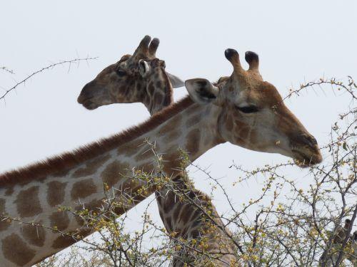 giraffes etosha namibia