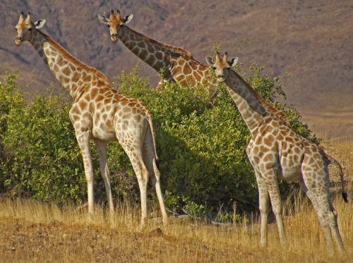 giraffes namibia safari