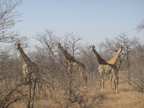 giraffes africa national park
