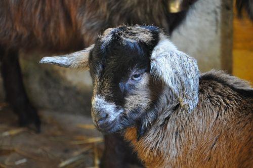 gitzi goat head