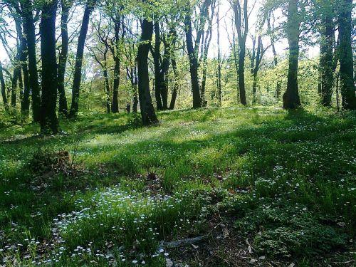 glade forest spring