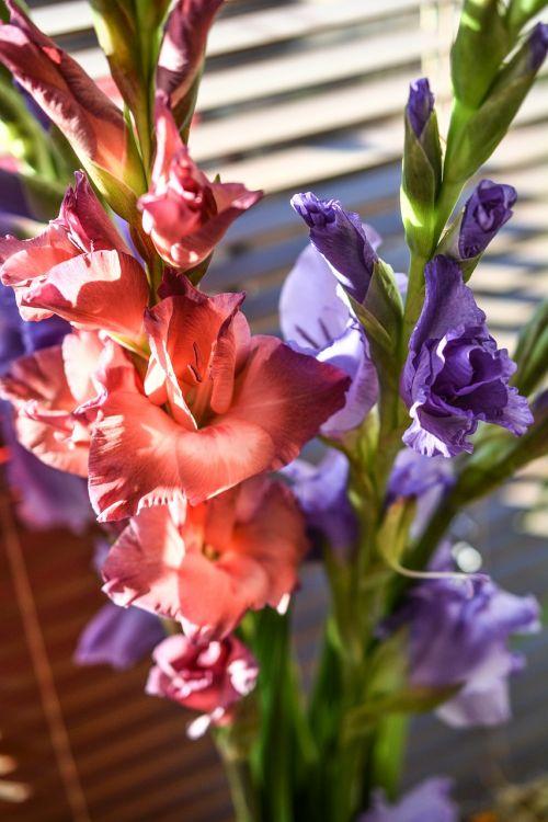 gladiola gladioli flowers
