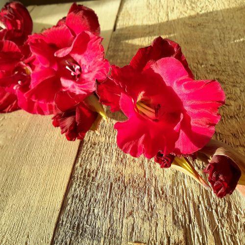 gladiola flower magenta