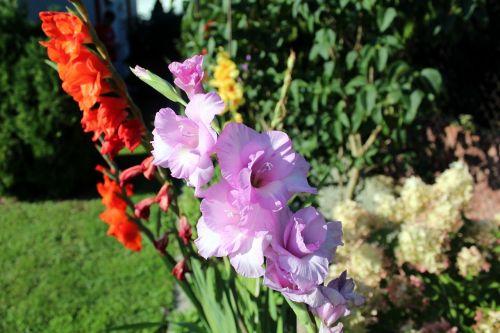 gladiole gladioli garden flowers