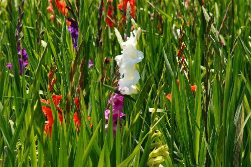 gladiolas,balta,vasara,įvairios spalvos,gamta,gėlės,augti,žiedas,žydėti,augalas,žydėti