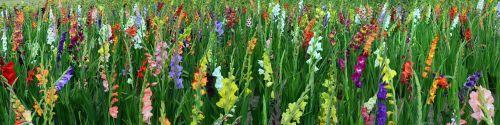 gladiolus field of flowers panorama