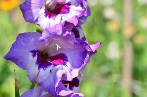 gladiolus blue dacha