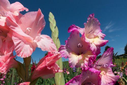 gladiolus sword flower schwertliliengewaechs