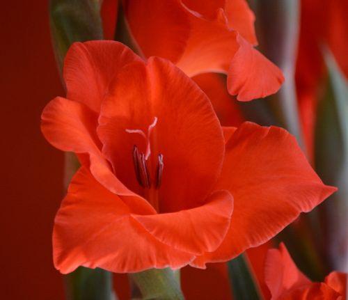 plant botany gladiolus