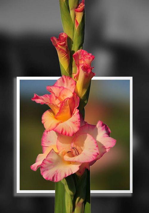 gladiolus photoshop image editing