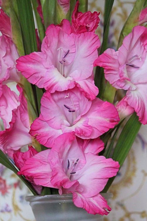 gladiolus gladiolenblüten red white