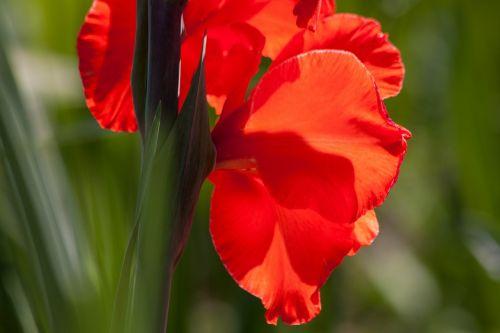 gladiolus sword flower iridaceae