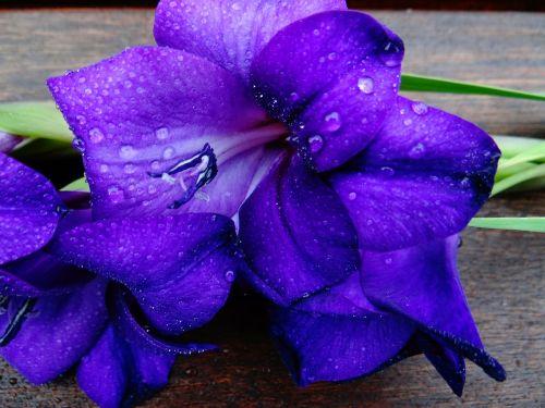 gladiolas,schwertliliengewaechs,violetinė