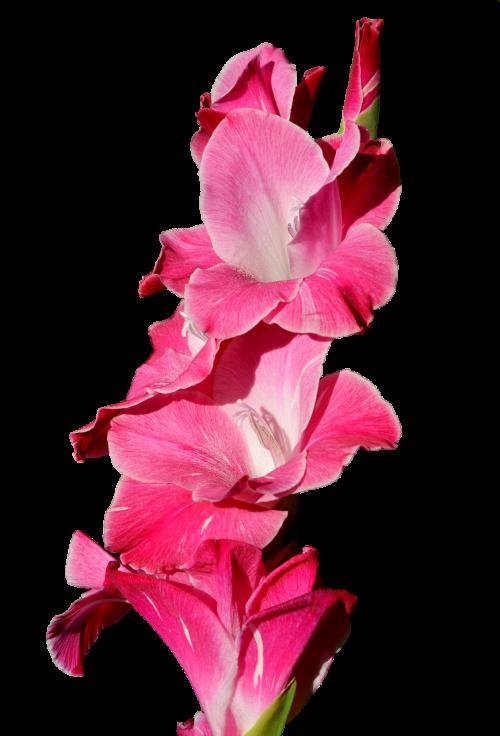 gladiolus gladidus butterfly greenhouse
