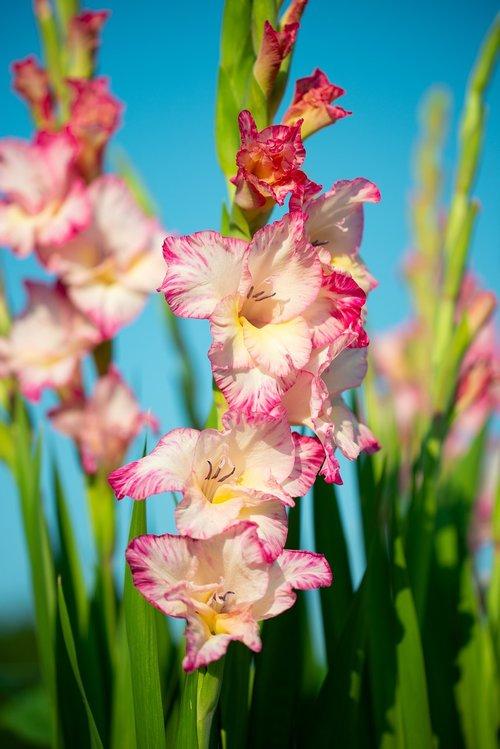 gladiolus  flowers  gartenblümen