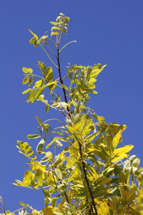 gleditsia leather sleeves tree tree