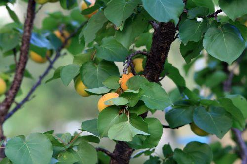 Glimpse Of Apricots