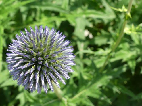 globe thistle plant nature