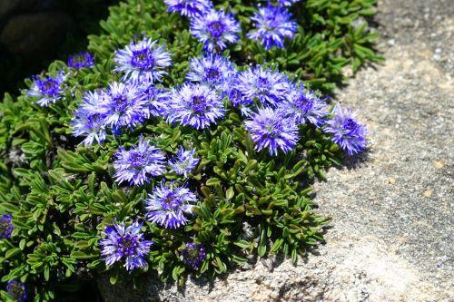 globularia nana flowers nature