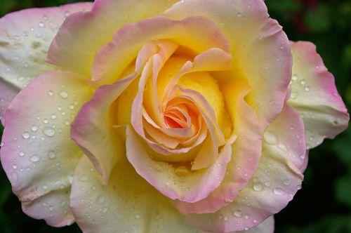gloria dei rose garden rose
