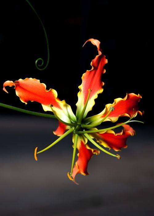 gloriosa flower climber