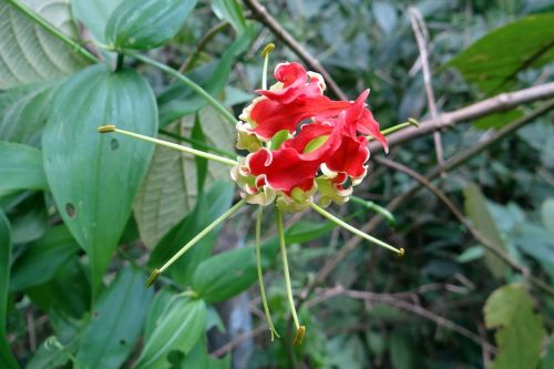 glory lily flower scarlet