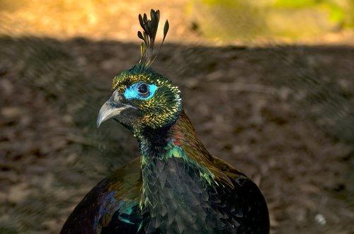 gloss pheasant  himalayas  zoo