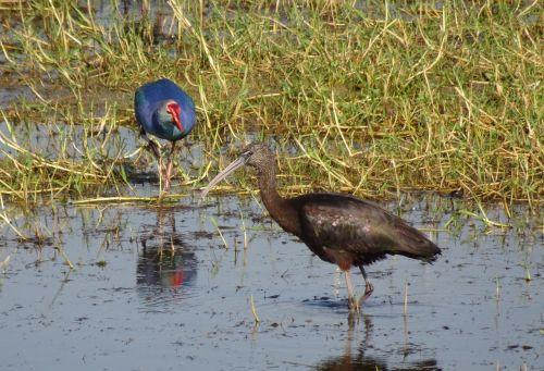 glossy ibis wader plegadis falcinellus