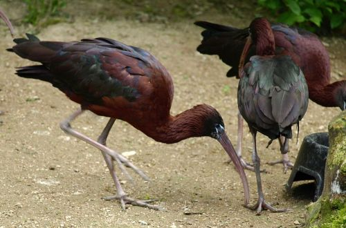 glossy ibis bird bill