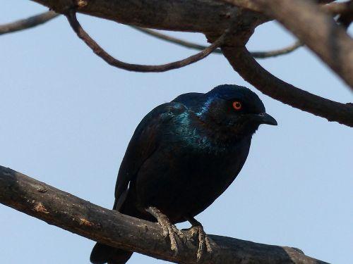 glossy-starling star bird