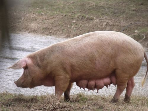 Gloucester Old Spot Sow
