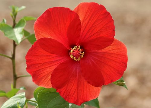 Glowing Red Hibiscus