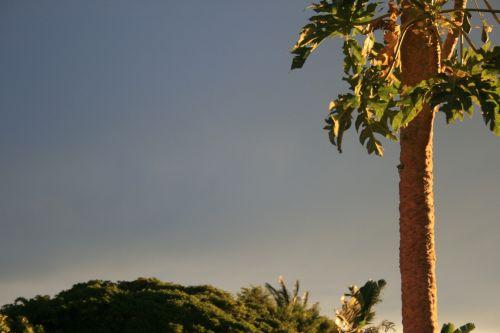 Glowing Sun On Pawpaw Tree