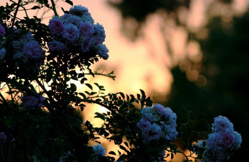 Glowing Sunset Behind Rose Clusters