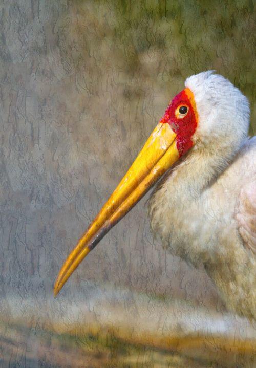 glutton stork bird