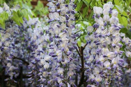 glycine  climbing  purple flowers