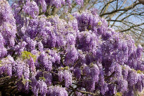 glycine tree clusters