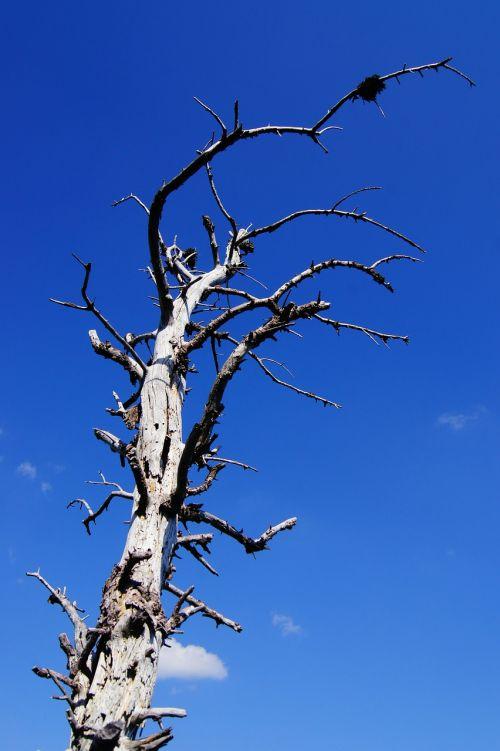 gnarled tree arid