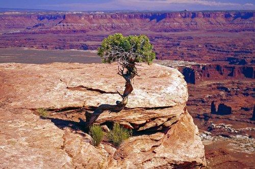 gnarled live utah juniper  juniper  gnarled