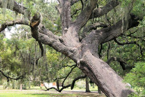 gnarly ąžuolas,didelis medis,senas medis,medis,parkas,samaninis medis,ąžuolo,pasviręs medis,laipiojimo medis,bagažinė,žievė,samanos,gamta