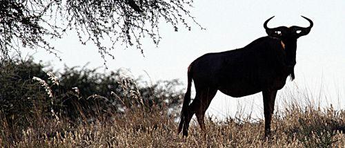 gnu kalahari namibia