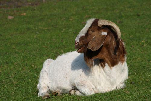 goat billy goat horns