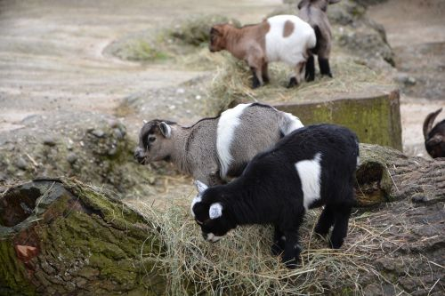 goat baby animal