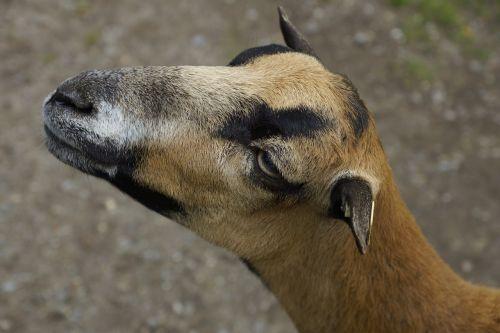 goat paarhufer ruminant