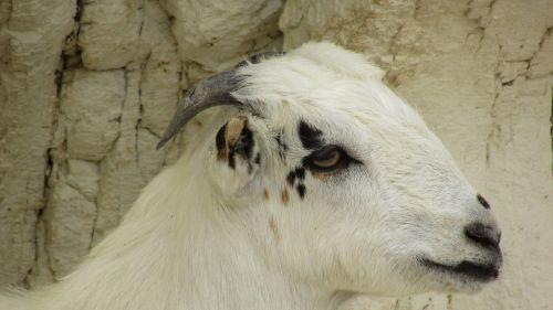 goat animal livestock