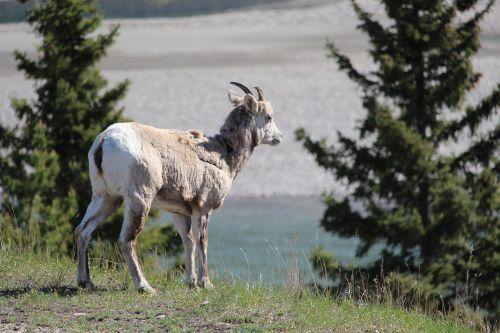 goat mountain goat canadian