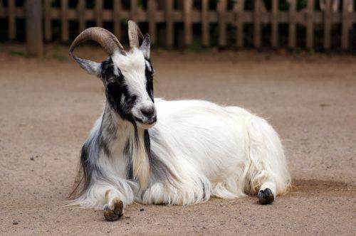 goat animal zoo