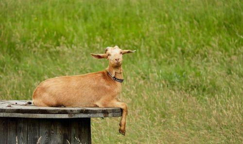 goat animal mammals